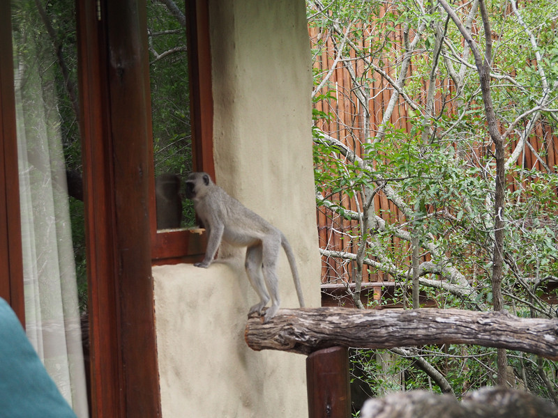 A vervet monkey sees if anybody is home.