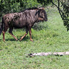 A wildebeast strolls on by.  Its herdmates are located to the right.