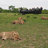 The four lionesses of the Breakaway pride take a nap next to the airstrip.  The vehicles get quite close to them with no apparent danger to the occupants.