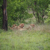 The four lionesses of the Breakaway pride relax after a night of hunting...