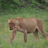 A young lioness with a full belly