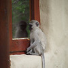 A baby vervet monkey tries to open the window
