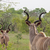 A small herd of male kudu