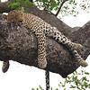 Young female leopard sleeps in a tree