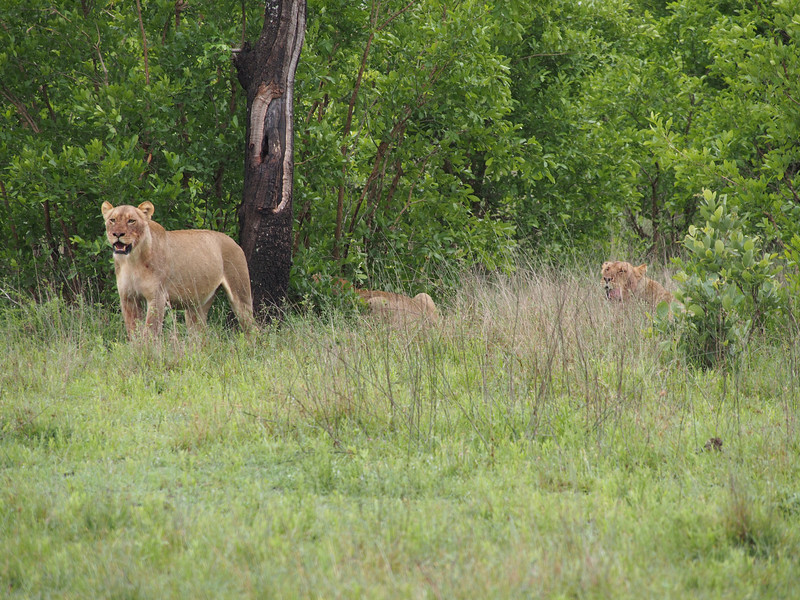 Three of the four lionesses of the Breakaway pride.  They were members of another pride that was taken over by two males who immediately killed four of the pride's eight cubs in order to throw the females into estrus.  These four broke away and started their own pride, hence the name.