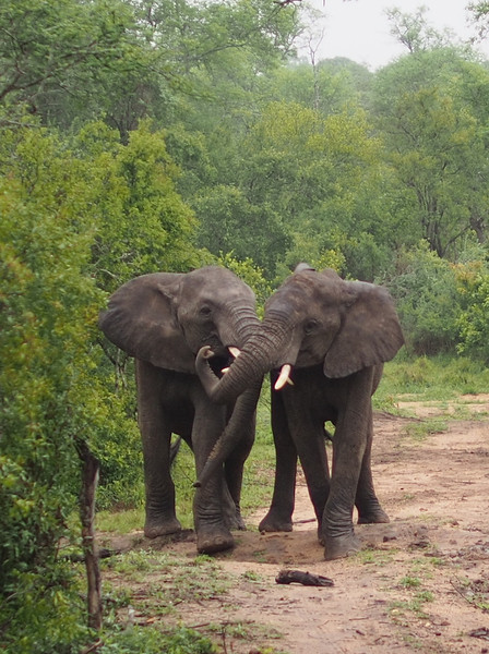 Two young male elephants are play-fighting.  They carried on for quite some time, pushing, bumping, and shoving each other.  According to the ranger, they are practicing for the day when the fighting will be real and the stakes will be high: dominance over the herd and breeding rights.