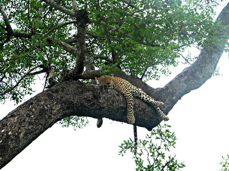 Our tracker Service found this female leopard sleeping in a tree not 100 yards from the entrace to the Simbambili Game Lodge where we stayed.  It was known that the Game Lodge was part of her territory.  She gave birth to her cub beneath the cabin where spa services are provided, facials and massages and the like.  It was assumed that her cub was nearby and safe.  It is not unusual for the mother leopard to leave her cub for up to three days to go hunting.  Two days later, our ranger Pierre found the cubs tracks not far from here.
