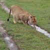 Antoher young lioness with a full belly fro a recent kill takes a drink.