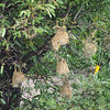 The hanging nests of the African golden oriole, one of which is visible on the right..