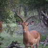 An impala buck with a great set of horns