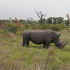 The rhino grazes in front of a small herd of giraffe.