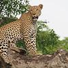 A female leopard showing off her beautiful coat