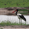 A saddle-billed stork at the watering hole in front of the Simbambili lodge.