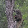Mama baboon with baby on board.