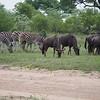 Zebra and wildebeast graze together.