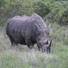 Grazing rhino.