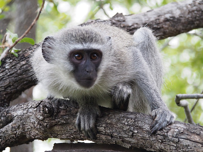 A very curious vervet monkey