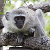 A very curious vervet monkey