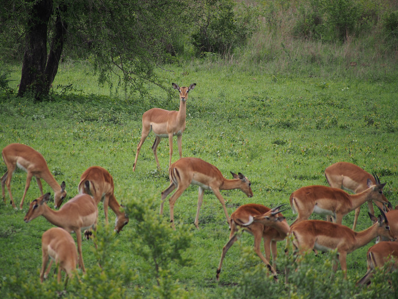 Grazing impala with a lookout posted.
