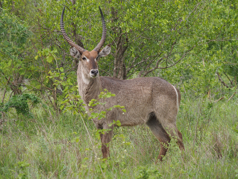 Male waterbuck.