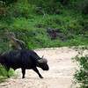 Cape buffalo crosses the riverbed.