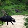 Cape buffalo crosses the riverbed.