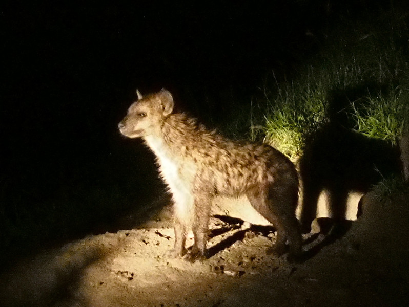 A baby hyena.  Mom and dad are out hunting.  Their den is an abandoned termite mound, the location well known to the ranger crews from the lodges in the area.  The baby is curious, often approaches the game drive vehicles and ilikes to gnaw on the vehicles' tires.