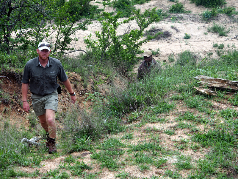 Our guide Pierre and our tracker Service ascend from the Manyeleti riverbed.  The rains have made tracking on higher ground, which has become compacted, difficult to impossible.  The riverbed's sandy bottom allows the experienced trackers to make an assessment of recent animal traffic in the area.