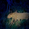 Our tracker Service did an amazing job keeping the leopard lit up with a spotlight despite the vehicle rocking and rolling over the rough terrain.  The leopard maintained a steady gait; it would have been impossible to keep up if he had run.