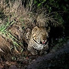 Tired of being chased by us, the young male leopard lies down and tries to hide.