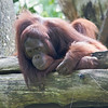 Singapore Zoo : On my first day in Singapore, I woke rather late - then headed to the Zoo and Night Safari.