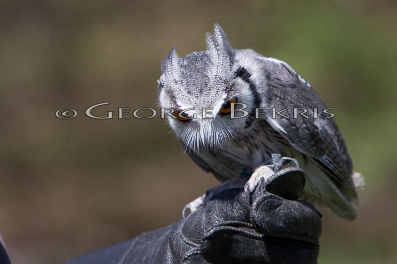 White-Faced Scops Owl