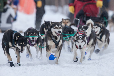 SLED DOGS 9898  Stage One Start in Grand Portage  2014 Gichigami Express Sled Dog Race - Cook County, MN