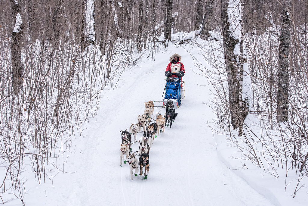 "SLED DOGS 6668<br /> <br /> ""Sled Dogs in the Sugar Bush""<br /> <br /> 2016 John Beargrease Sled Dog Marathon - February 1, 2016<br /> <br /> Julie Albert of Saint-Michel-des-Saints, Quebec runs her dogs through the sugar maple forest of Grand Portage on approach to the half-way turnaround point of the 2016 John Beargrease Sled Dog Marathon."