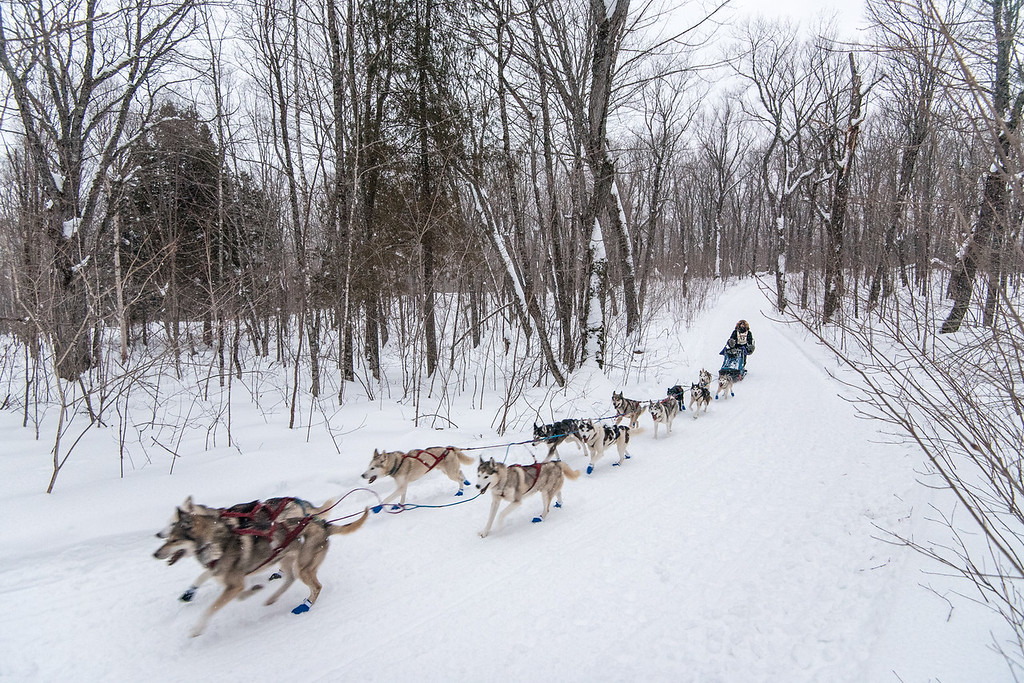"""SLED DOGS 6692<br /> <br /> """"The Beargrease returns to Grand Portage!""""<br /> <br /> 2016 John Beargrease Sled Dog Marathon - February 1, 2016<br /> <br /> For the first time in quite a few years, the John Beargrease Sled Dog Marathon is once again running all the way to Grand Portage. In fact, the race used to start and end in Grand Portage.  The Beargrease was always a huge event here when I was growing up, and I remember volunteering to help with the race.  It sure is nice to see the teams running here once again. Jessica and I went up after work today to watch the teams arrive at Mineral Center in Grand Portage.  In this photo Jennifer Freking of Finland, MN and her team run the final stretch of trail approaching Mineral Center just before darkness fell on the forest of northern Minnesota."""