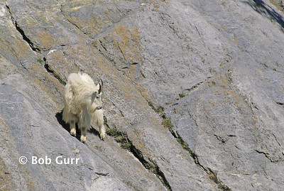 Mountain Goat #0027