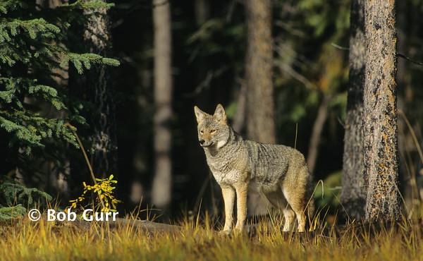 Coyote #0002