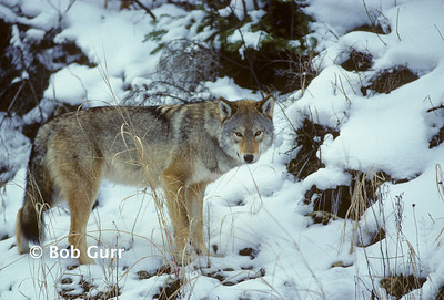 Eastern Canadian Wolf #0021