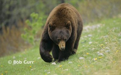 Black Bear (Cinnamon Phase) #0016