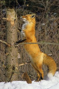 Red Fox Curiosity #0085