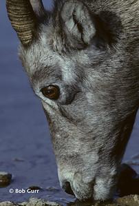 Bighorn Sheep Ewe Drinking #0023