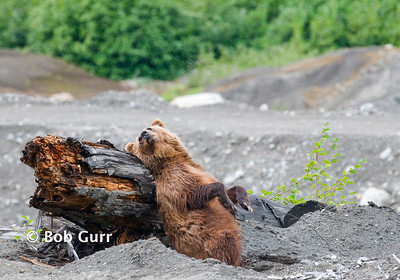 Grizzly Bear _RGA2053