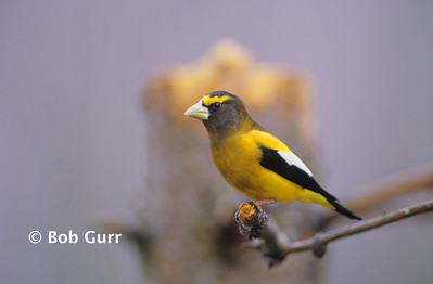 Evening Grosbeak Male #0004
