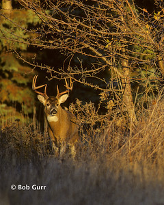 White-tailed Deer Buck #0087