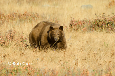 Black Bear (Cinnamon Phase) _BGA0303