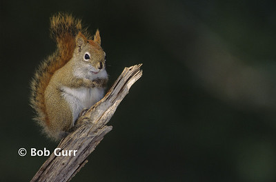 Red Squirrel #0007
