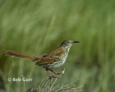 Brown Thrasher #0003