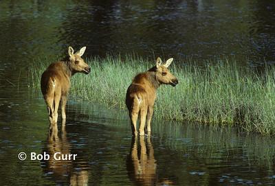 Moose Calves #0001