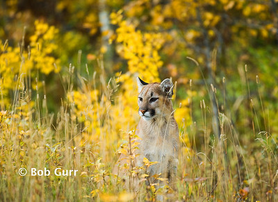 Cougar Juvenile _BGP2867