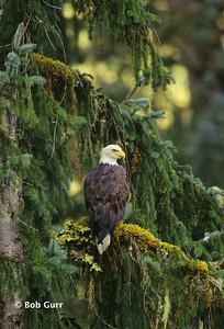 Bald Eagle #0004